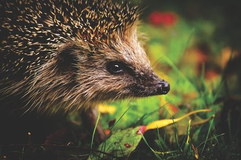 hedgehog-child-3636026__340